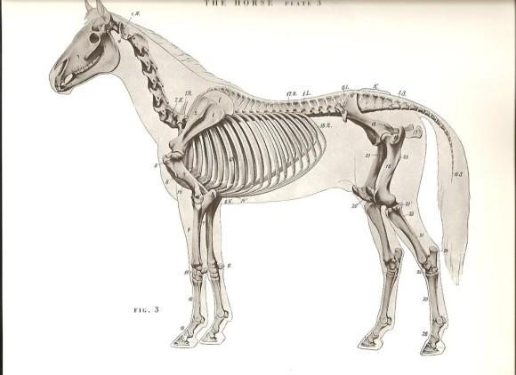 horseanatomydiagrams